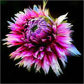 Dalhia n000278 by Gérard CHATENET - Flowers Single Flower