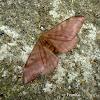 Hylesia Moth