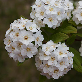 SPRING CHEER by Nihan Bayındır - Flowers Flower Gardens ( nature, tree, spring, passion, garden, blossom, flower,  )