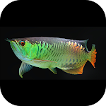 Arowana Wallpapers Icon