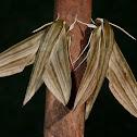 Striped Green Sphinx Moth