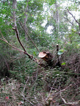 Photo: One of the trees that fell down over the track.     HALS 2009-0919