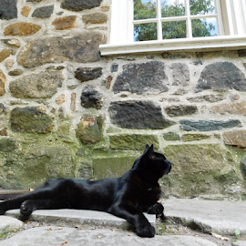 Black Cat At Poe Museum  by TONY LOPEZ - Animals - Cats Portraits ( edgar allan poe, historic district, museum, poe, black, black cat,  )