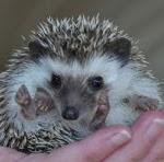 www.connecticuthedgehogs.com