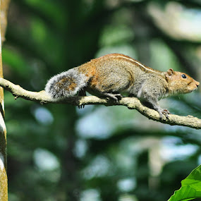 High way by B Thottoli - Animals Other ( snap, kerala, nikon, squirrel, animal )
