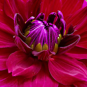 Dahila by Jim Jones - Flowers Single Flower ( canby dahlia farm, dahila, dahlia's, flowers, close up )