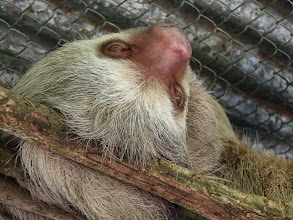 Photo: Two toed sloth - there were four of them on this playform. She tried to get them to wake up for food but they were having none of it.