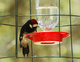 Photo: Adult male Acorn Woodpecker feeding at a hummingbird feeder, Madera Canyon, Arizona