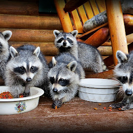 Family Portrait by Diane Merz - Animals Other Mammals ( nature, animals, food,  )