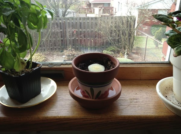 Water and place in a sunny window.  Keep the soil damp - I...