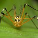 Antlered Crane Fly