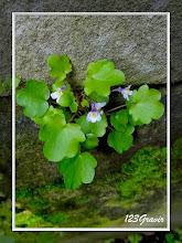 Photo: Linaire cymbalaire, Linaria cymbalaria