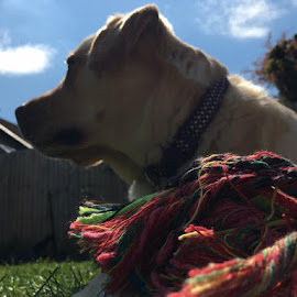 Boston the Yellow Lab by Mel Littlechild - Animals - Dogs Playing
