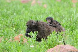 "Photo: Like mother like daughter (or is it son?). Baboons, Marakele National Park, South Africa.  ""Baboons are terrestrial (ground dwelling) and are found in open savannah, open woodland and hills across Africa. Their diet is omnivorous, but mostly vegetarian; yet they eat insects and occasionally prey on fish, shellfish, hares, birds, vervet monkeys, and small antelopes. They are foragers and are active at irregular times throughout the day and night. They can raid human dwellings and in South Africa they have been known to prey on sheep and goats. Their principal predators are humans, the lion, both the spotted and striped hyena and the leopard. They are however considered a difficult prey for the leopard, which is mostly a threat to young baboons. Large males will often confront them by flashing their eyelids, showing their teeth by yawning, making gestures, and chasing after the intruder/predator. Baboons in captivity have been known to live up to 45 years, while in the wild their life expectancy is about 30 years."" - Wikipedia"