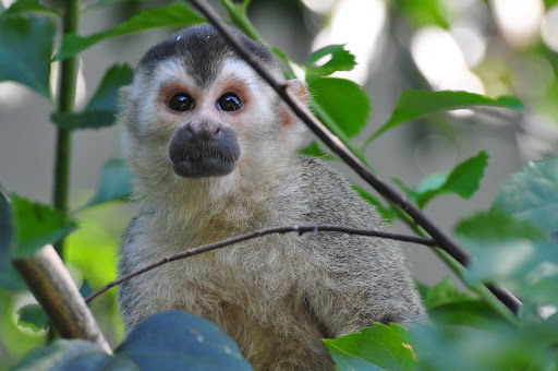 monkey.jpg - A Central American Squirrel Monkey near Quepos, Costa Rica.