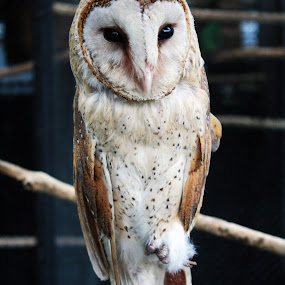 Hey Owl by Yunita Halim - Animals Birds