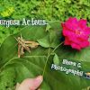 Green Hummingbird Moth