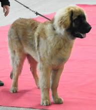 Photo: Puppy Mâle, un Polonais, E'Hyako Grande Leonis