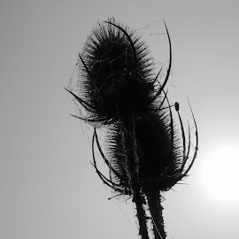 teasel by Janet Matthews - Nature Up Close Trees & Bushes (  )