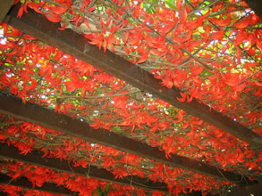 Photo: Jade Vermelha de Cacho Pequeno ( Mucuna novoguineensis )