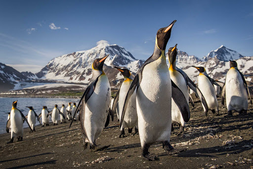 Cruise Ponant to Antarctica and get up close and personal with some king penguins.