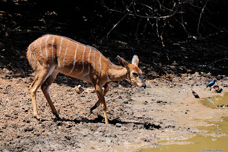 Photo: A Nyala at at the bird hide at Stofdam in the Mokala National Park. This species is not endemic to this region and was introduced when this area was a game farm. It is planned to relocate them to another park.
