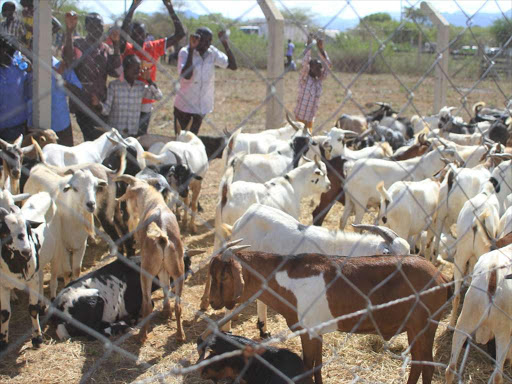 Some 2,590 goats were sold during Kimalel Goat Auction in Baringo South Sub-county on December 22, 2018. /JOSEPH KANGOGO