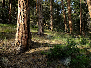 Photo: Ponderosa pine grove on the descent to Santa Fe - getting warmer and drier