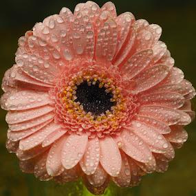 Pinkerty-Pink-Pink by Gillian James - Flowers Single Flower ( water drops, pink, close up, gerbera, flower )