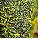 Many-headed Slime Mould