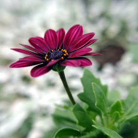 Purple Daisy by BoonHong Chan - Nature Up Close Flowers - 2011-2013 ( samsung )