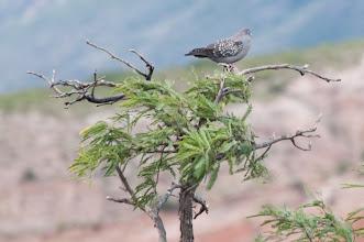 Photo: Spot-winged Pigeon (Fleckentaube); Valle Cachaquí, ARG