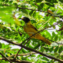 Black-hooded oriole (Juvenile)