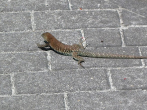 Photo: This guy was hanging out near the shops on the pier in SXM