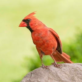 Bird Belly by Kathy Jean - Animals Birds ( red, bird, animal, cardinal, male cardinal, male )