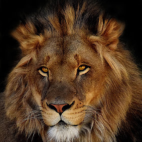 Young Prince by Shawn Thomas - Animals Lions, Tigers & Big Cats ( pride, predator, lion, cat, carnivore, mane, wildlife, king, large )