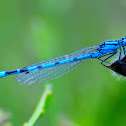Common blue damselfly; Caballito del diablo común azul