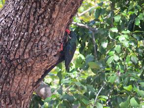 Photo: red-billed wood hoopoe