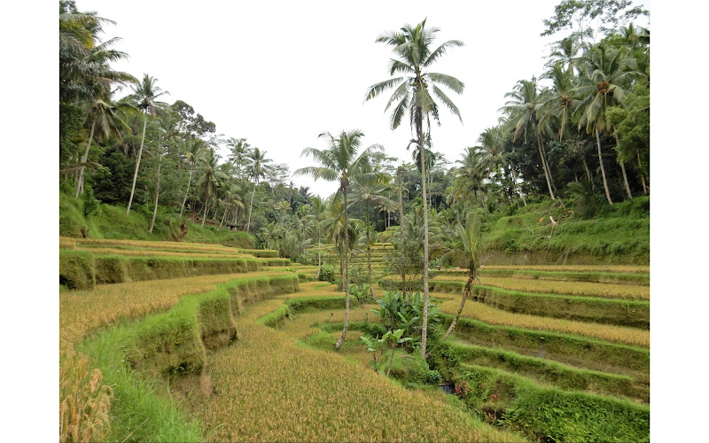 Tegallalang Rice Terraces di gretaB