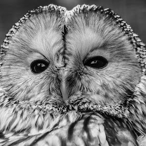 Ural owl by Garry Chisholm - Black & White Animals ( bird, garry chisholm, ural, nature, black and white, owl, wildlife, prey,  )