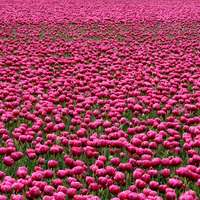 Tulips by Hilda van der Lee - Flowers Flower Gardens ( field, sping, holland, pink, tulips,  )