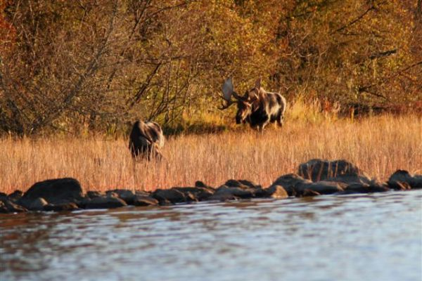 Photo: Two moose along the lakeshore