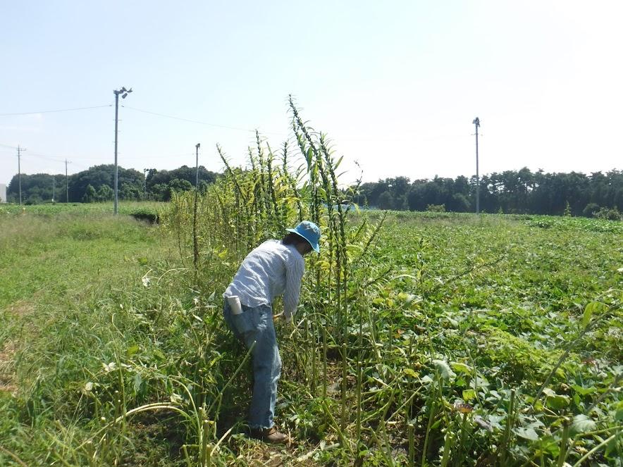 ゴマの収穫。大きなハサミで切っていきます