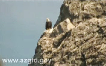Photo: A typical bald eagle sighting on a rocky perch high on the cliffs overlooking the Agua Fria river. Our cameras did not have enough telephoto power.