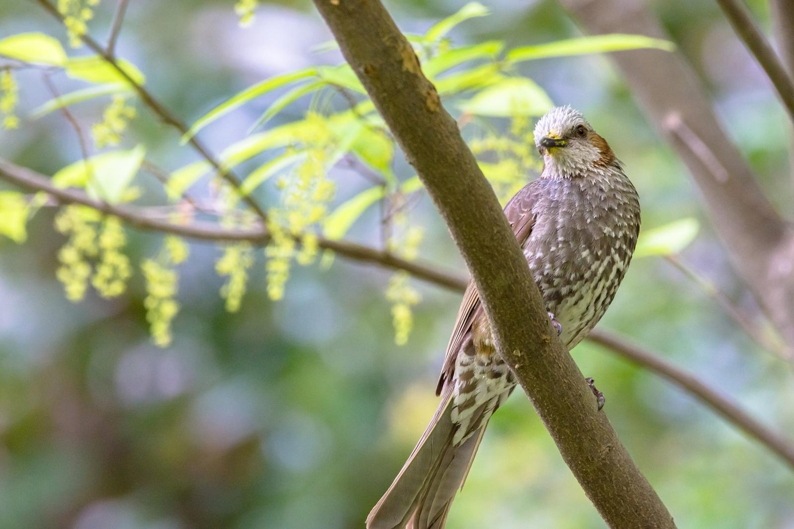 Photo: 「心地よい色」 / Pleasant color.  溢れだす命の色 輝かしくて 心地よくて それはとても優しい色  Brown-eared Bulbul. (ヒヨドリ)  Nikon D7200 SIGMA 150-600mm F5-6.3 DG OS HSM Contemporary  #birdphotography #birds #kawaii #ことり #小鳥 #nikon #sigma  ( http://takafumiooshio.com/archives/2442 )