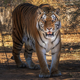 by James Harrison - Animals Lions, Tigers & Big Cats