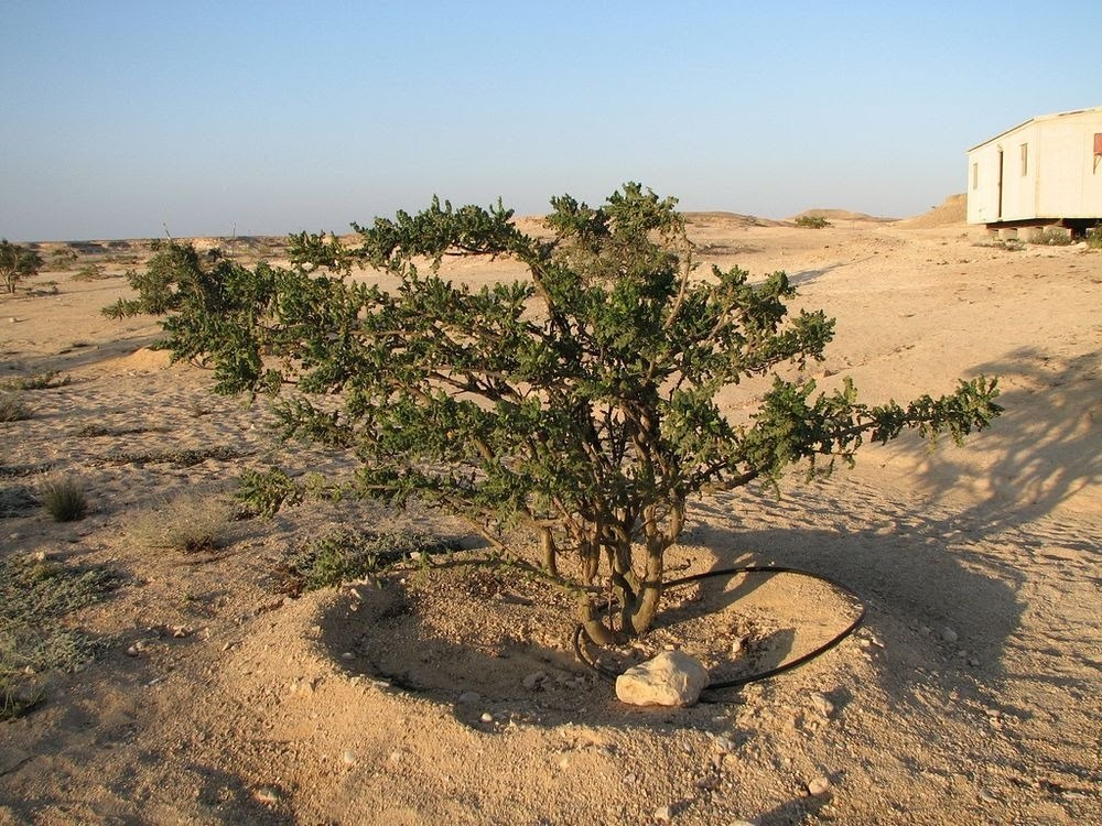 Wadi Dawkah, a terra do Frankincense