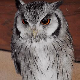 Owl by Nicola Bake - Novices Only Wildlife ( farm, orange, animals, owl, wildlife )