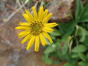ウサギギク(残り花)