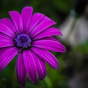 flower by José M G Pereira - Flowers Single Flower ( single, beautiful, pink, springtime, flower )